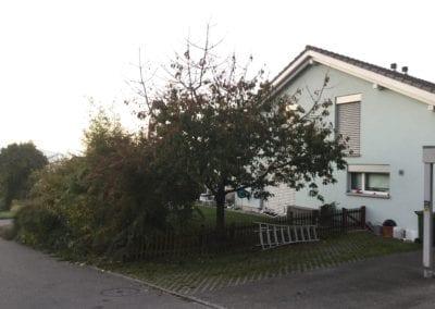 Kirschbaum vorher