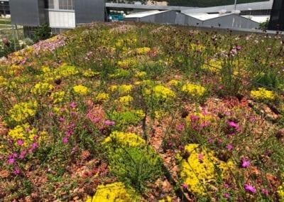 Bepflanzung Dachbegrünung Maibach Gartenbau GmbH Safnern Biel